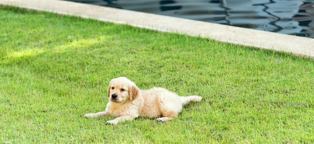 Chiot golden retriever sur l'herbe verte