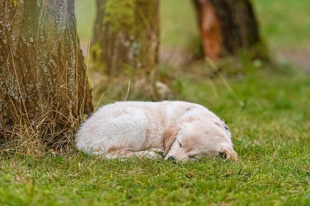 Chiot golden retriever jaune couché dans l'herbe verte