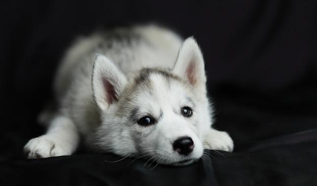 Chiot husky aux yeux épais se trouve sur un fond noir