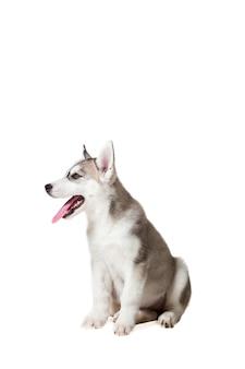 Chiot husky sibérien isolé sur fond blanc. le chien est assis et ne regarde pas la caméra