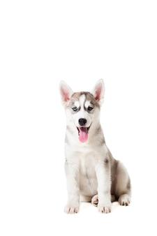 Chiot husky sibérien isolé sur fond blanc. un chien s'assoit et regarde la caméra