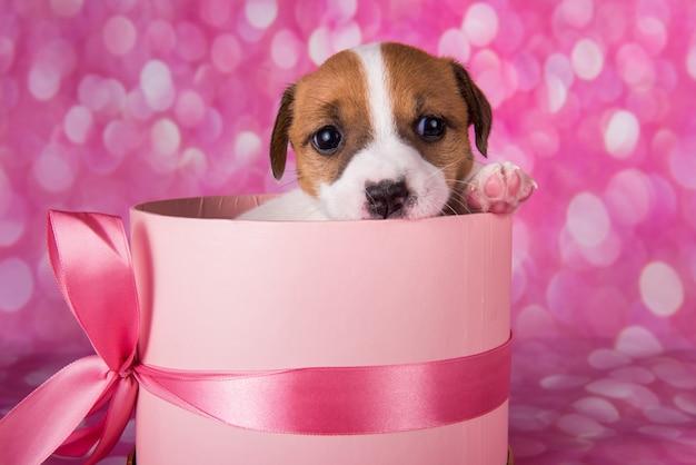 Chiot jack russel terrier mignon dans une boîte cadeau rose