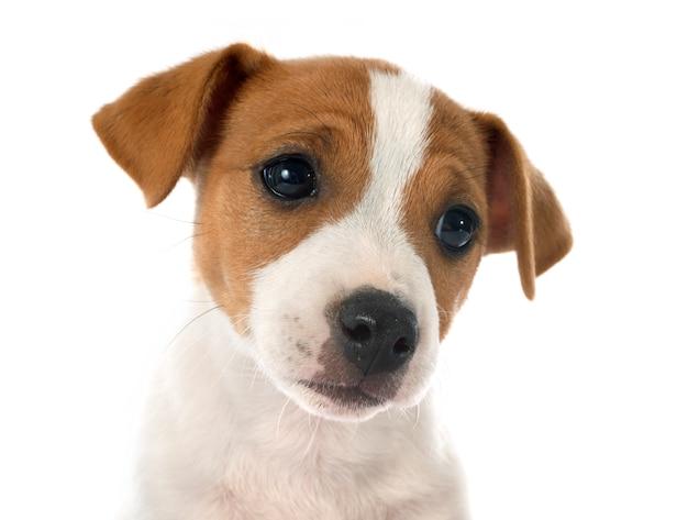 Chiot jack russel terrier