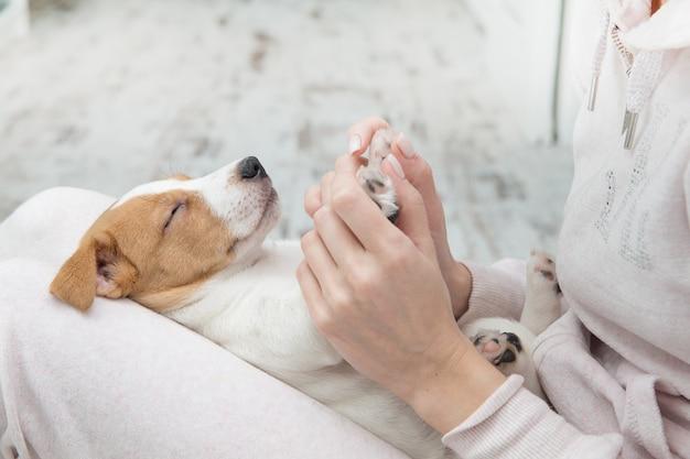 Chiot jack russell chien endormi terier les mains