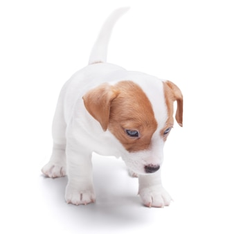 Le chiot jack russell. isolé