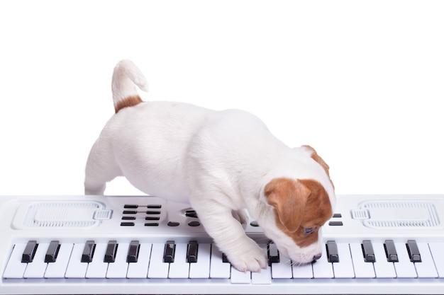 Le chiot jack russell jouant du synthétiseur. isolé