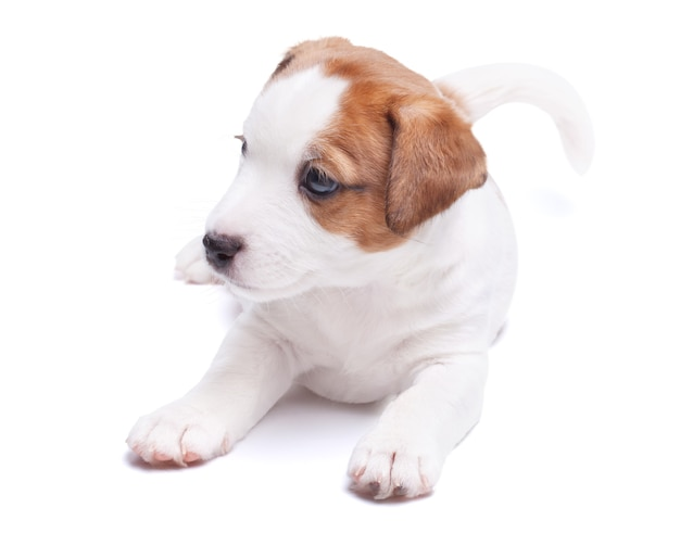 Le chiot jack russell ment. isolé