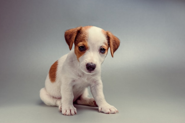 Chiot jack russell terrier assis