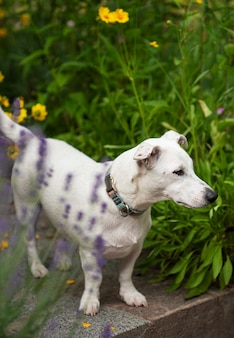 Chiot jack russell terrier dans l'herbe