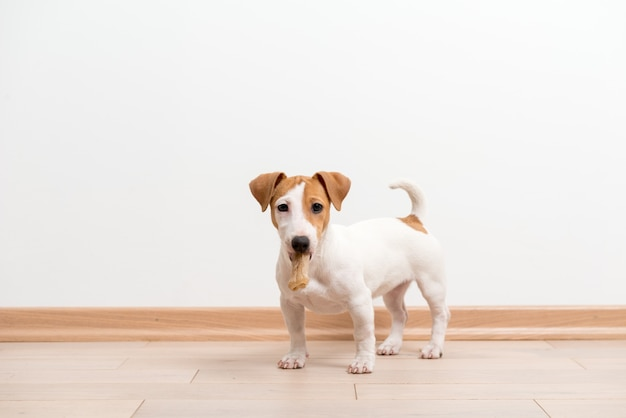 Chiot jack russell terrier