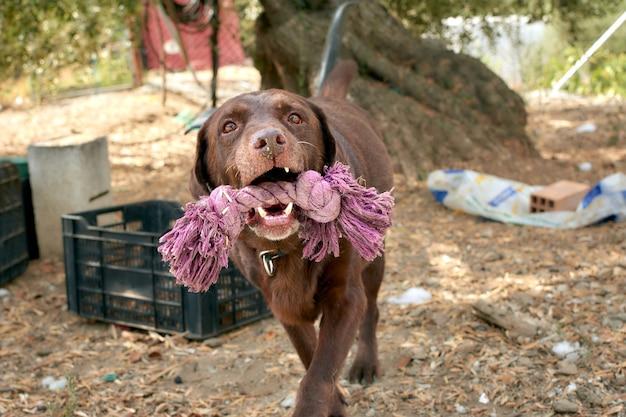 Chiot labrador brun portant un tissu par une journée ensoleillée