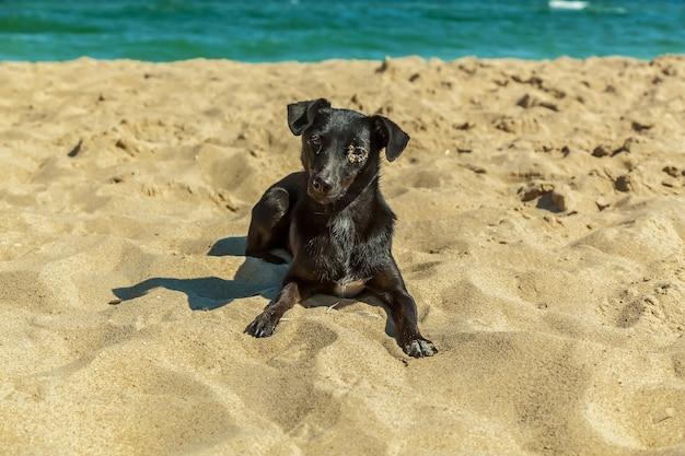 Chiot labrador. seul chiot labrador noir se détendre sur la plage de sable contre la mer.