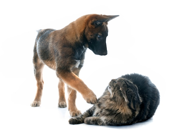 Chiot malinois et maine coon