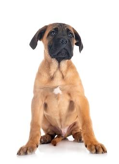 Chiot mastiff italien devant fond blanc