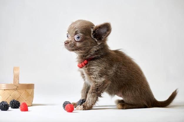 Chiot mignon chien chihuahua. petit chien rigolo. préparer une exposition canine.