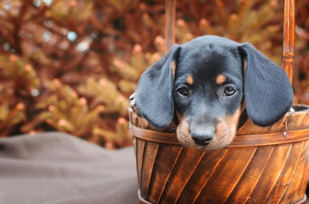 Chiot mignon chien teckel