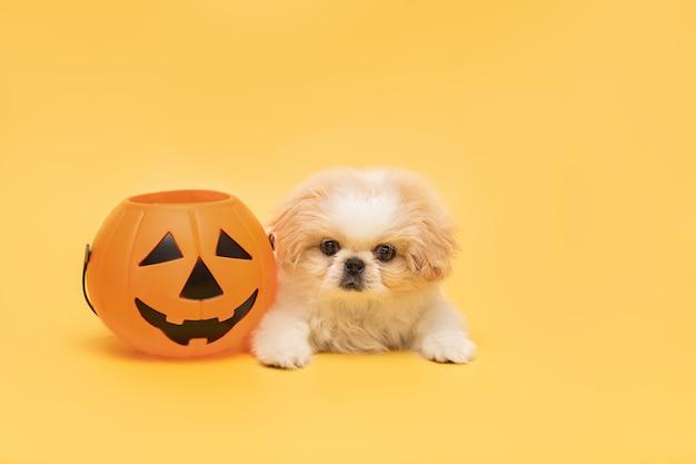 Chiot mignon moelleux avec citrouille d'halloween isolé sur fond jaune studio carte halloween