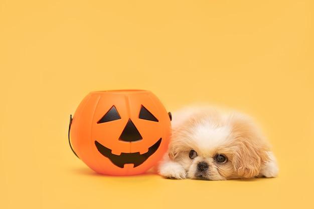 Chiot moelleux blanc avec citrouille d'halloween isolé sur fond jaune studio carte halloween