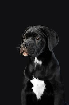 Chiot noir cane corso sur fond noir. portrait d'un gros plan chiot mignon