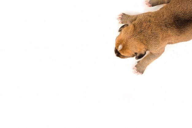 Un chiot nouveau-né sur la vue de dessus de fond blanc