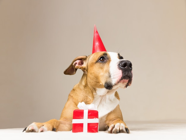 Chiot pitbull drôle en chapeau d'anniversaire avec peu de surprise à ses pattes