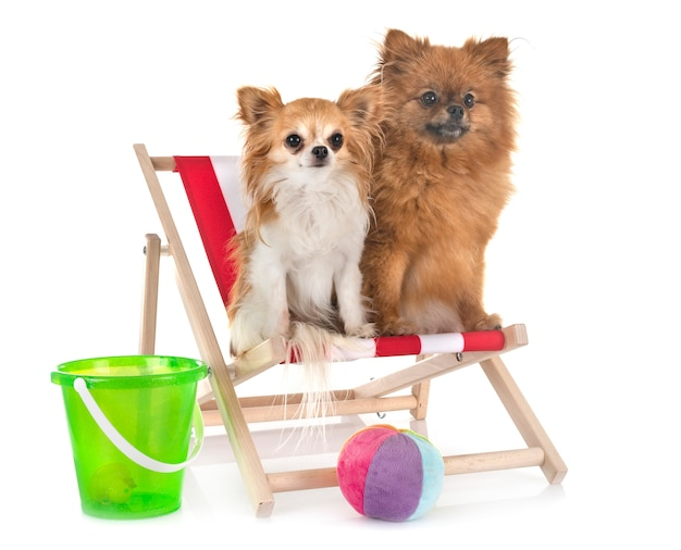 Chiot poméranien et chihuahua sur la plage, concept de vacances d'été