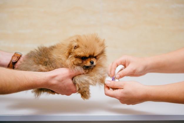 Chiot poméranien malade rouge tenir par les mains du médecin dans une clinique vétérinaire avant l'opération.