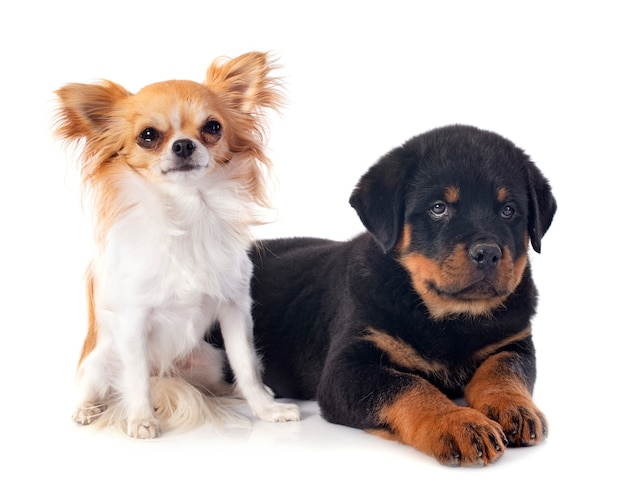 Chiot rottweiler et chihuahua