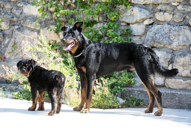 Chiot Rottweiler Près De Nager Avec Beauceron Photo Premium