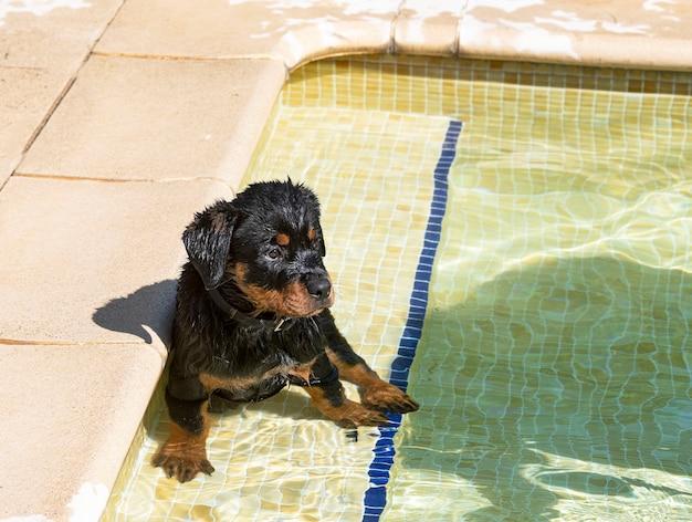 Chiot rottweiler près de la piscine en été