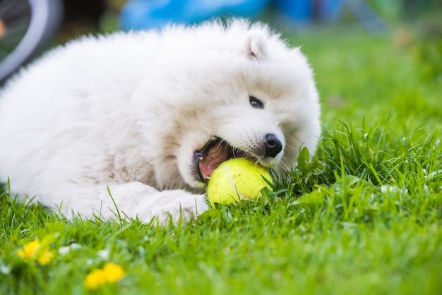 Chiot samoyède blanc jouant avec une balle de tennis