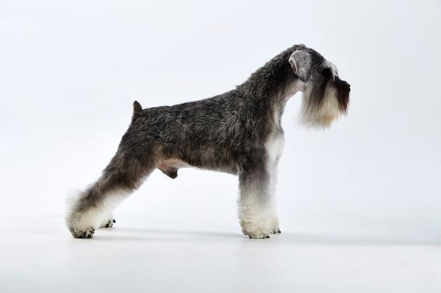 Chiot schnauzer terrier de race pure