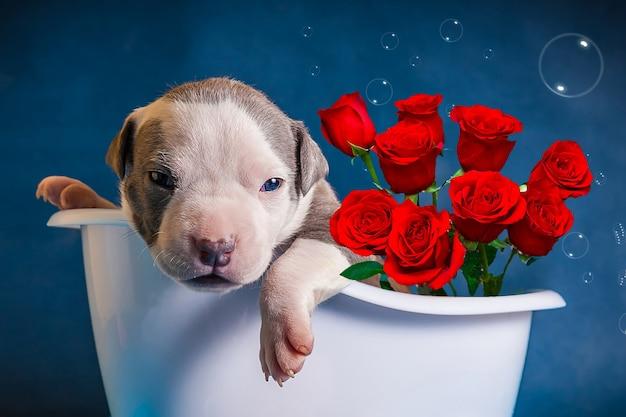 Le chiot se trouve dans la salle de bain avec un bouquet de roses. félicitations pour la journée internationale de la femme. confession d'amour