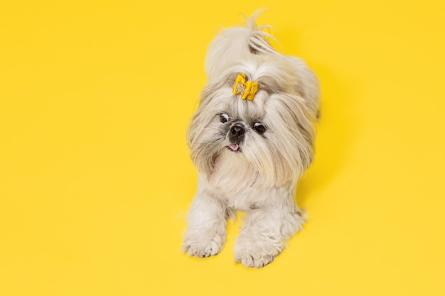 Chiot shih-tzu portant un arc orange. chien mignon ou animal de compagnie est allongé isolé sur fond jaune. le chien chrysanthème. espace négatif pour insérer votre texte ou image.