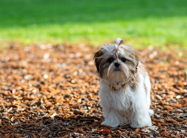 Un chiot solitaire dans le parc cherche son maître