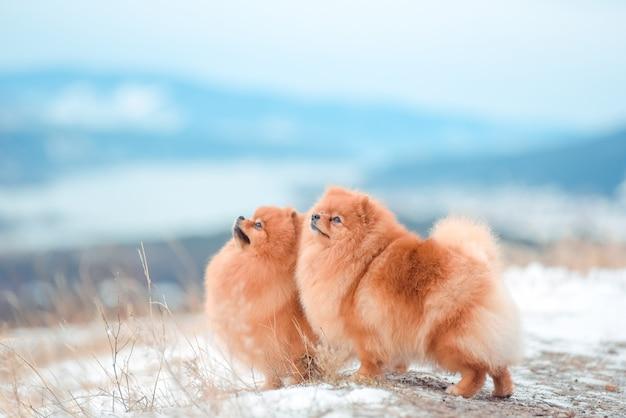 Chiot spitz dans les montagnes en hiver
