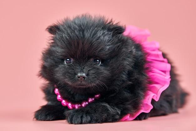 Chiot spitz de poméranie. joli chien spitz noir moelleux en jupe avec des perles sur fond rose. petit chien pompon dwarf-spitz adapté aux familles.