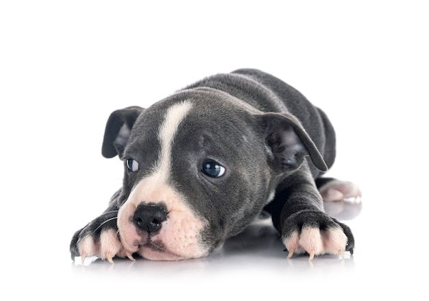 Chiot staffordshire bull terrier isolé