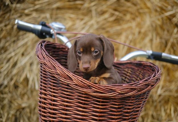 Chiot teckel de couleur café mignon dans un panier en osier d'un vélo vintage