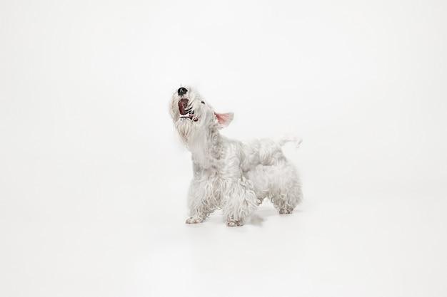 Chiot terrier soigné avec fourrure duveteuse. mignon petit chien blanc ou animal de compagnie joue et court isolé sur fond blanc.