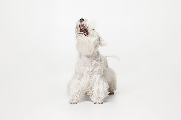 Chiot terrier soigné avec fourrure duveteuse