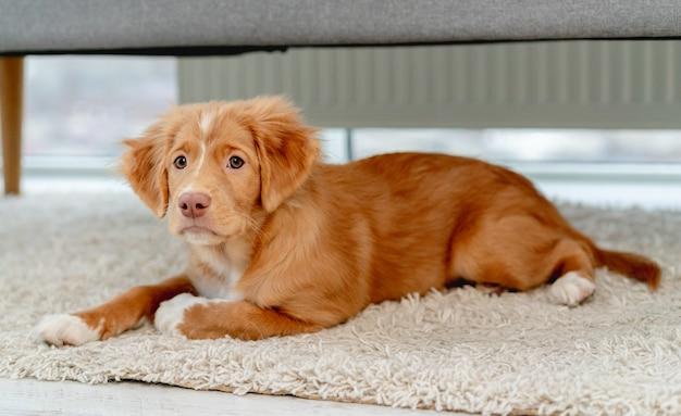 Chiot toller s'amusant avec des jouets pour chiens sur un tapis à la maison