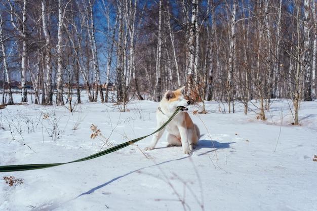 Chiot vilain akita inu grignote sa laisse verte alors qu'il était assis dans la neige