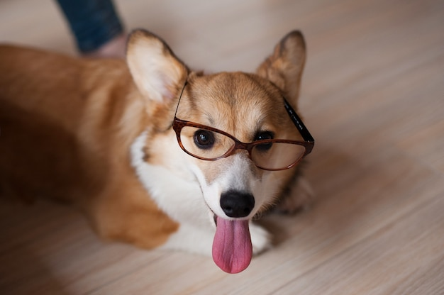 Chiot welsh corgi pembroke drôle avec des lunettes à la maison, chien souriant heureux