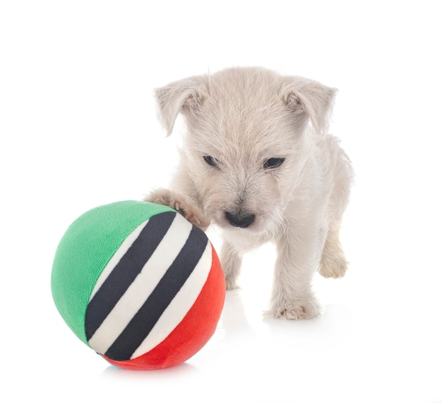 Chiot west highland white terrier