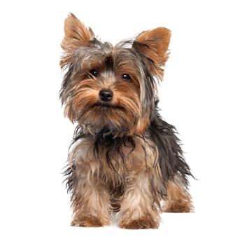 Chiot yorkshire terrier avec 5 mois. portrait de chien isolé