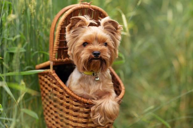 Chiot yorkshire terrier dans l'herbe verte