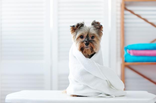 Chiot yorkshire terrier enveloppé dans une serviette