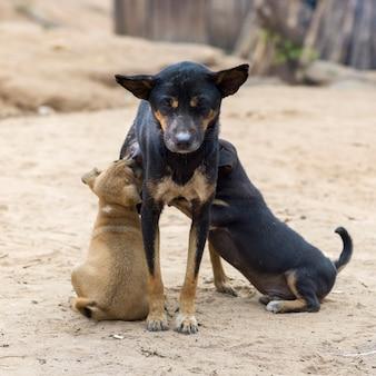 Chiots d'allaitement de chien, ban gnoyhai, luang prabang, laos