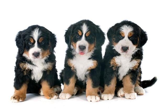 Chiots bernois chien de montagne